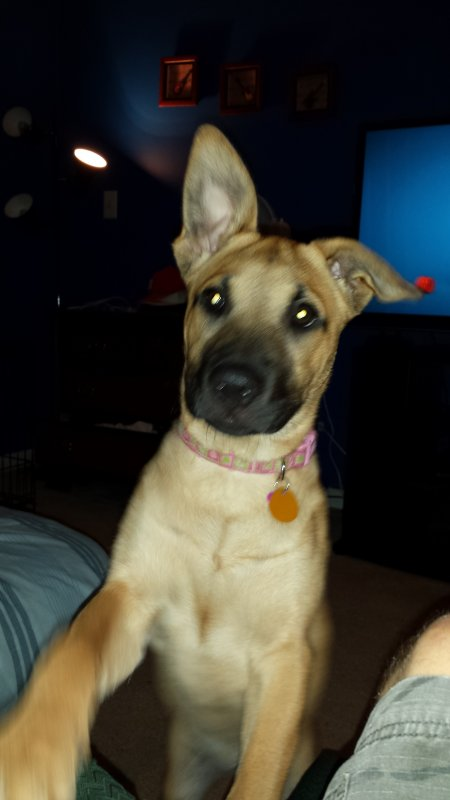 Malinois Pitbull Mix Very Rare Dog Breed Anyone Else