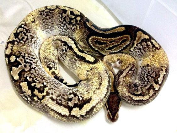 d0fa18f38d978dbbd611c279501ec2be--ball-python-paradox.jpg