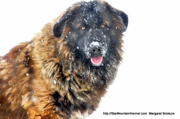 Estrela Mountain Dog 3.JPG
