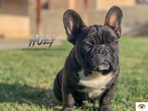 French Bulldog Huey.jpg