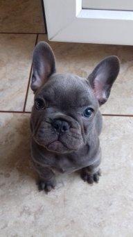 BronsonTheBulldog