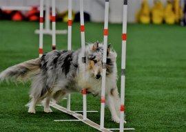agility collie mom