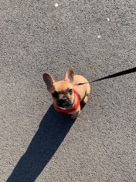 Rae The Frenchie